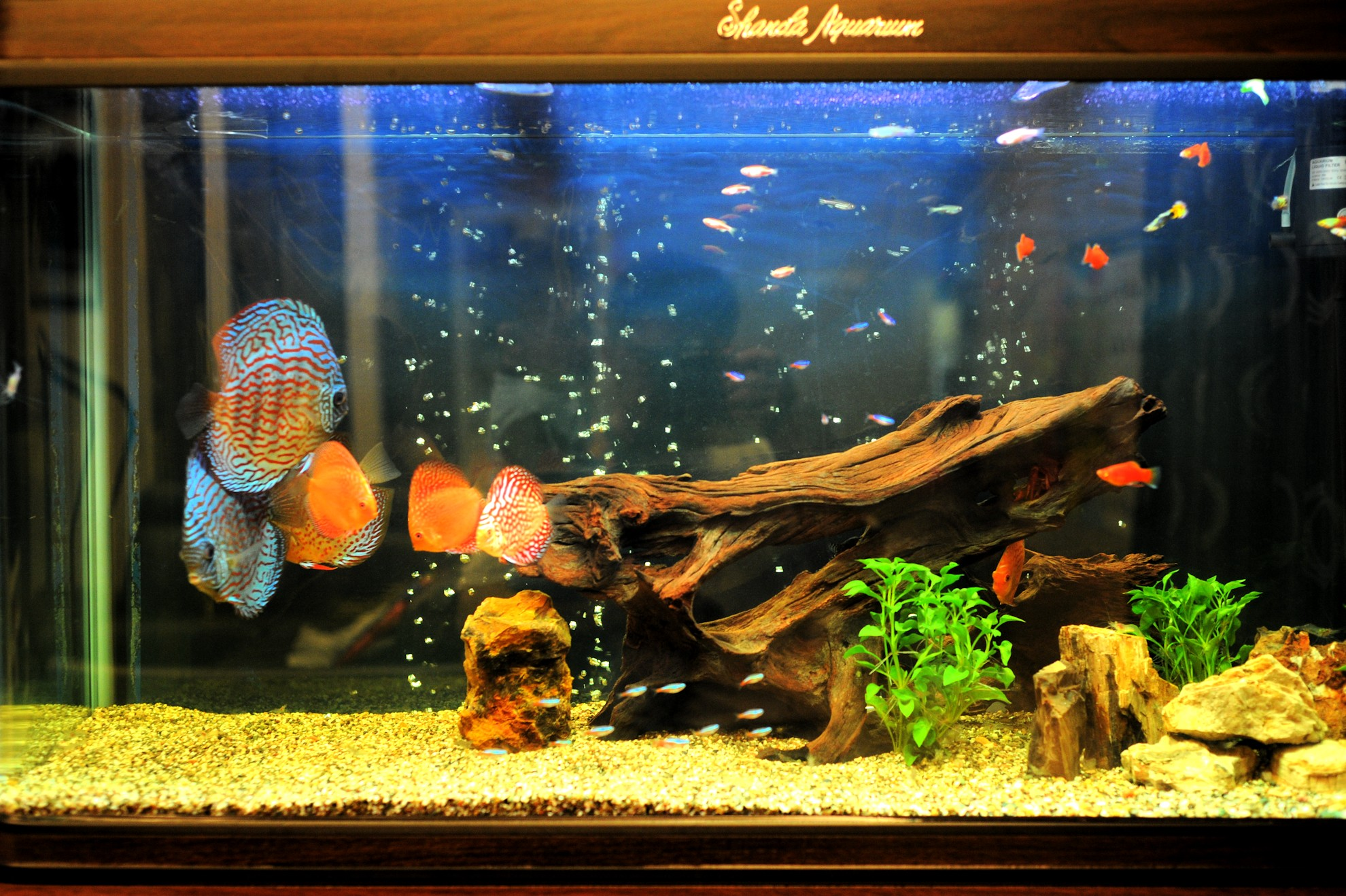 Fish aquarium red spots - My Wife Said The The Blue One Seems To Be Too Huge For My Tank I Have To Agree Initially I Want Only Red Spots Discus