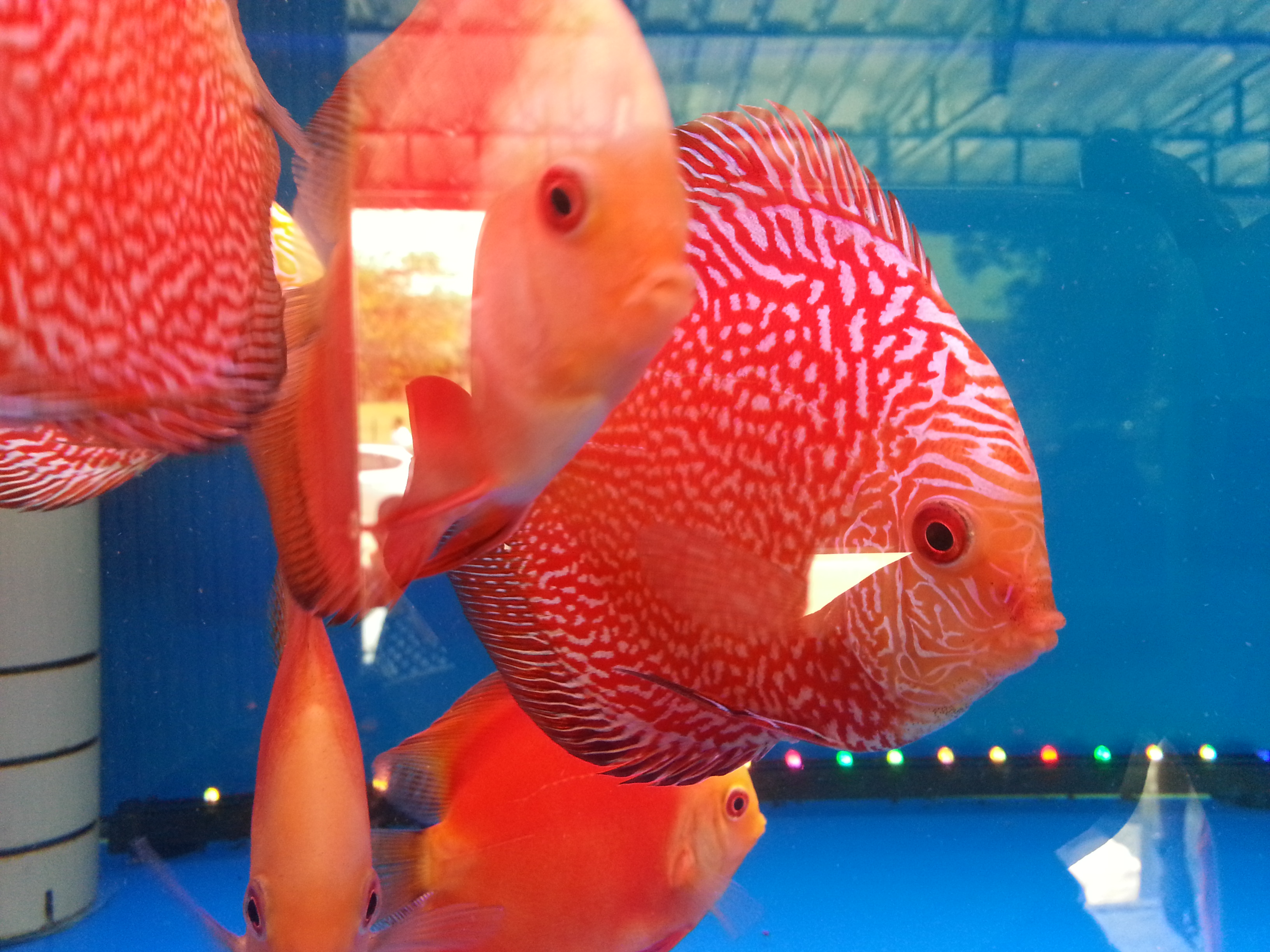 Amazing strain? Latest strain? Red Eagle? [Archive] - SimplyDiscus